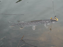 Pike fish caught in water, fishing, angling Royalty Free Stock Photo