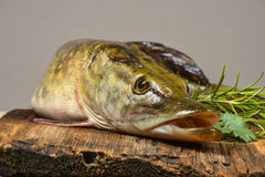 Pike fish. Esox lucius - a pike fish Royalty Free Stock Photos