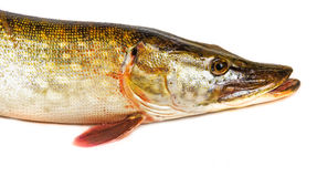 Pike fish- Esox lucius Royalty Free Stock Photography