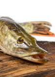Pike fish- Esox lucius Stock Image