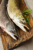 Pike fish. Esox lucius - a pike fish Royalty Free Stock Photography