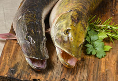 Pike fish. Esox lucius - a pike fish Stock Image