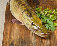 Pike fish- Esox lucius stock images
