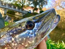 Pike Fish royalty free stock images
