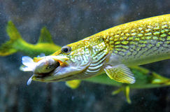 Pike fish hunting and eating Royalty Free Stock Photography