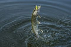 Pike fish jumping in water with splash. Fishing background.  stock photography