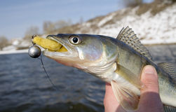 Pike fish with lure in mouth. Hand of fisherman holding pike fish with lure in mouth, lake or river in background Stock Images