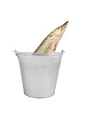 Pike fish in metallic bucket isolated. On white background Royalty Free Stock Photography
