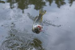 Pike fish trophy jumping above water with splashing.  stock image