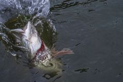 Pike fish trophy in water with splashing. Fishing concept stock photography
