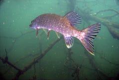Pike fish. Underwater pike fish in polish water Stock Photography
