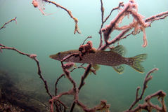 Pike fish. Underwater pike fish in polish water Stock Images