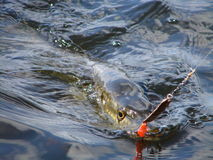 Pike fishing. Piks fishing in sweden lake Stock Image