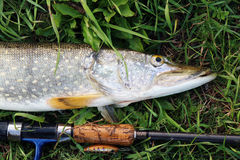 Pike fishing catch on the grass and fishing gear Royalty Free Stock Photography