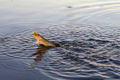Pike fishing Royalty Free Stock Image