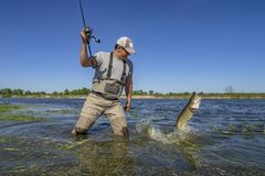 Pike fishing. Happy fisherman fights with big fish in water at river.  stock photos