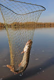 Pike fishing nets Royalty Free Stock Images
