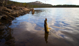 Pike fishing Northern fish Royalty Free Stock Photos