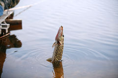 Pike Fishing Stock Images