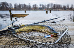 Pike fishing trophy caught in the spring lake. Pike fishing trophy in Swedish spring scenery Royalty Free Stock Photography