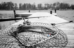 Pike fishing trophy in monochrome Royalty Free Stock Image