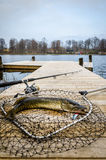 Pike fishing trophy in vertical view Royalty Free Stock Photography