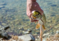 Pike in the hands of a fisherman. Pike`s face with an open mouth royalty free stock photo