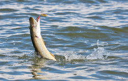 Pike on hook in water Royalty Free Stock Images