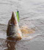 Pike on hook in water Royalty Free Stock Photography