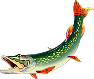 Pike. Huge toothy pike attacks, illustration on a white background Royalty Free Stock Photo