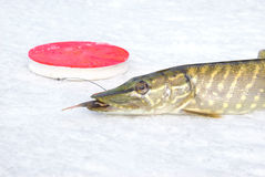 Pike on the ice Stock Photo