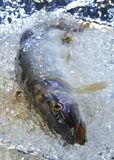 Pike on ice. A fresh pike is cooled on ice stock photos