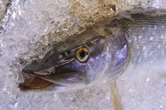 Pike on ice. A fresh pike is cooled on ice stock images