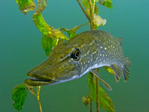 Pike in the lake Stock Images
