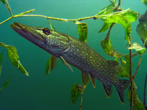Pike in the lake. Pike esox in the lake Royalty Free Stock Images