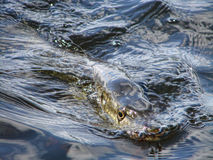 The pike in the lake. A pike swimming ind the surface Royalty Free Stock Images