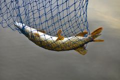 Pike in landing net. Royalty Free Stock Images