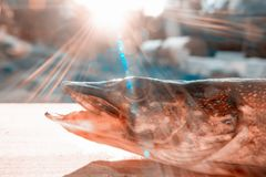 The pike lies on a wooden table in the sunlight. Close-up head. Concept of fishing royalty free stock image
