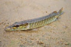 Pike lying on the sand. Stock Images