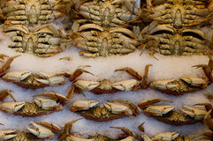 Pike market crabs. Freshly caught crabs are sitting in ice at Pike Market, Seattle. Martians waiting for Tom Cruise Royalty Free Stock Images