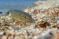 Pike-Nahaufnahme auf dem See Wiese voll des gelben L?wenzahns als Volksklugheit Fischenhintergrund stockfotografie