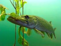 Pike nel lago Fotografia Stock