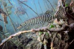 Pike nel lago immagine stock libera da diritti