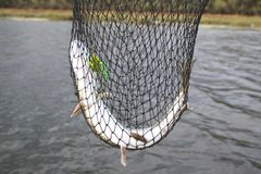 Pike in a net. Catching pike in a fishing net on a river background royalty free stock photo