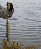 Pike norteño Foto de archivo libre de regalías