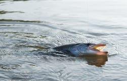 Pike On Hook In Water