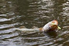 Free Pike On Hook (slight Motion Blur) Stock Photos - 11494213