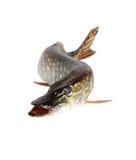 Pike på White arkivfoto
