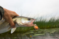Pike-perch Royalty Free Stock Image