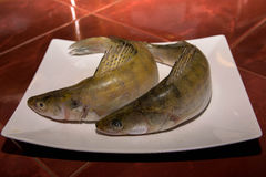 Pike perch fish Royalty Free Stock Image